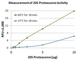 Measurement of 20S proteasome activity using the proteasome activity assay kit.