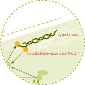 Cytoskeletal Structure