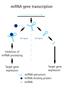 Role of miRNAs in cell fate determination. ncRNA-binding proteins frequently regulate ncRNA activity, and the differential expression of both ncRNAs and ncRNA binding proteins allows sophisticated patterning, for example, in developing embryos.