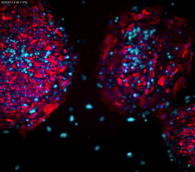 Merck:/Freestyle/BI-Bioscience/Cell-Culture/stem-cell-images/fluorescent-human-es-ips-cell-characterization-kit.jpg