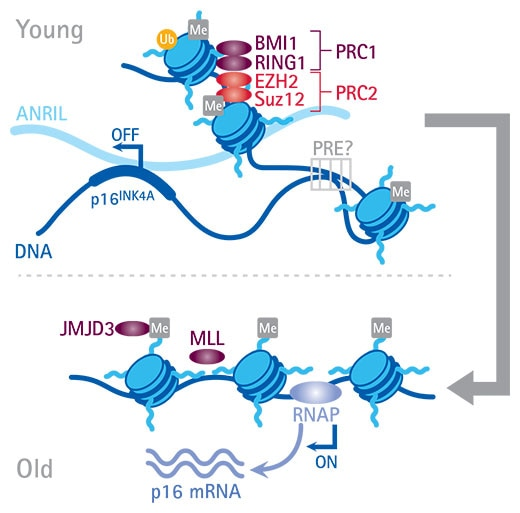 Merck:/Freestyle/BI-Bioscience/LP-Hallmarks-of-Aging/Epigenetic-Alteration-graph.jpg