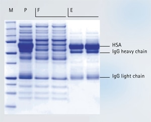 Efficient and reproducible removal of albumin and IgG from serum samples.